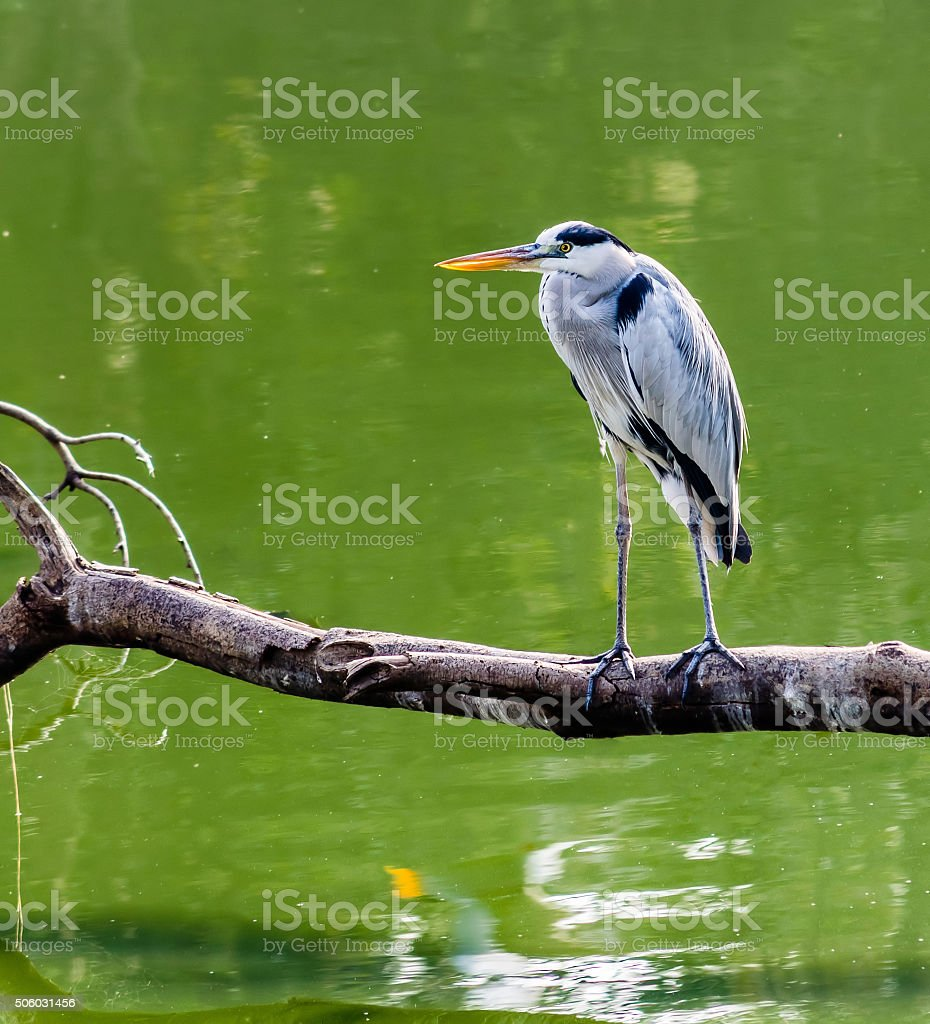 Tri-colored Heron stock photo