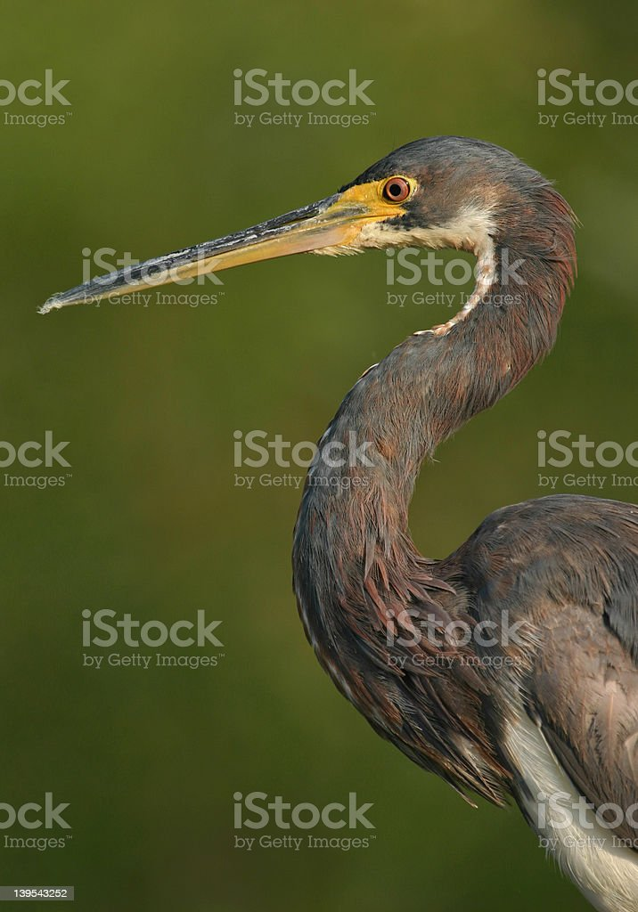 Tricolored heron portrait royalty-free stock photo
