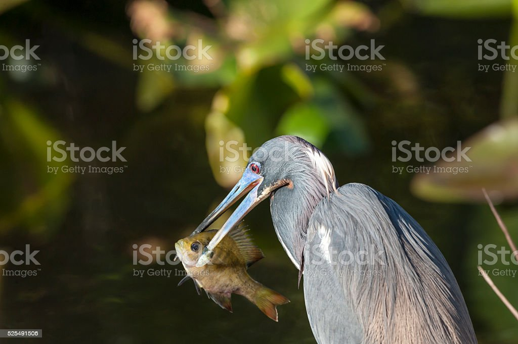 Tricolored Heron spears fish stock photo