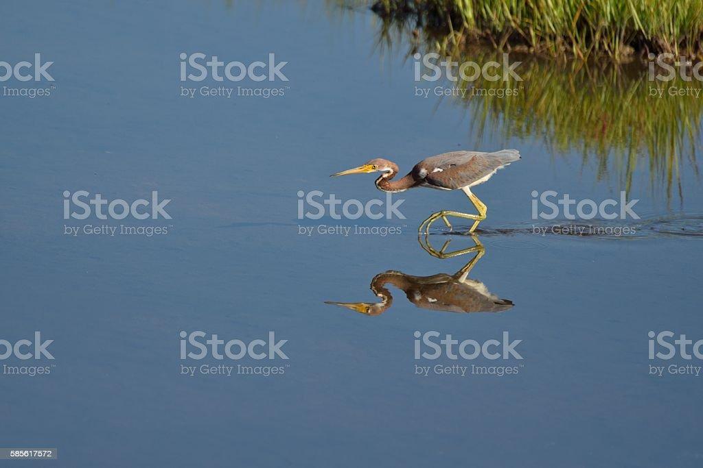 Tricolored Heron Stalking stock photo