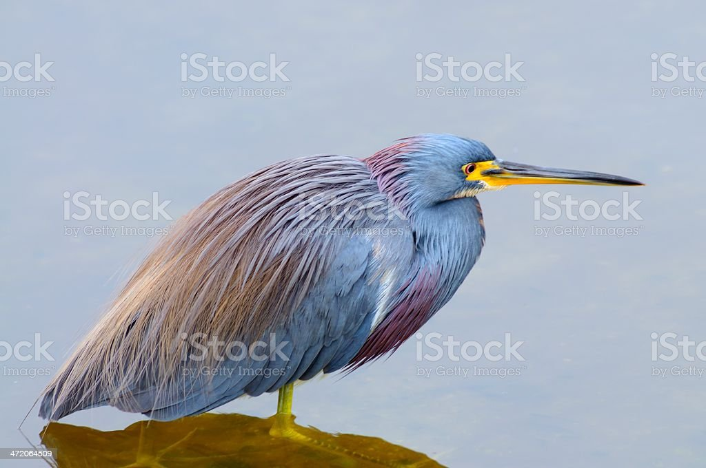 Tricolored Heron Standing In Water stock photo