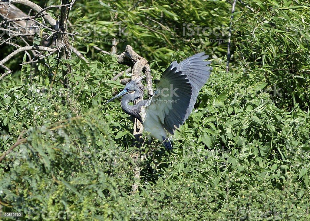 Tri-Colored Heron Taking Flight royalty-free stock photo