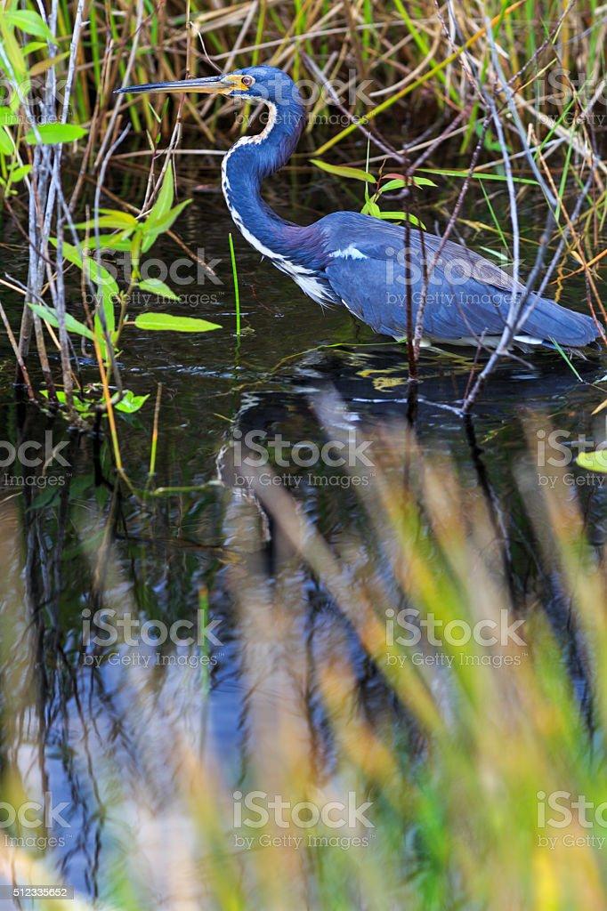 Tri-colored heron wading through the Everglades marsh stock photo