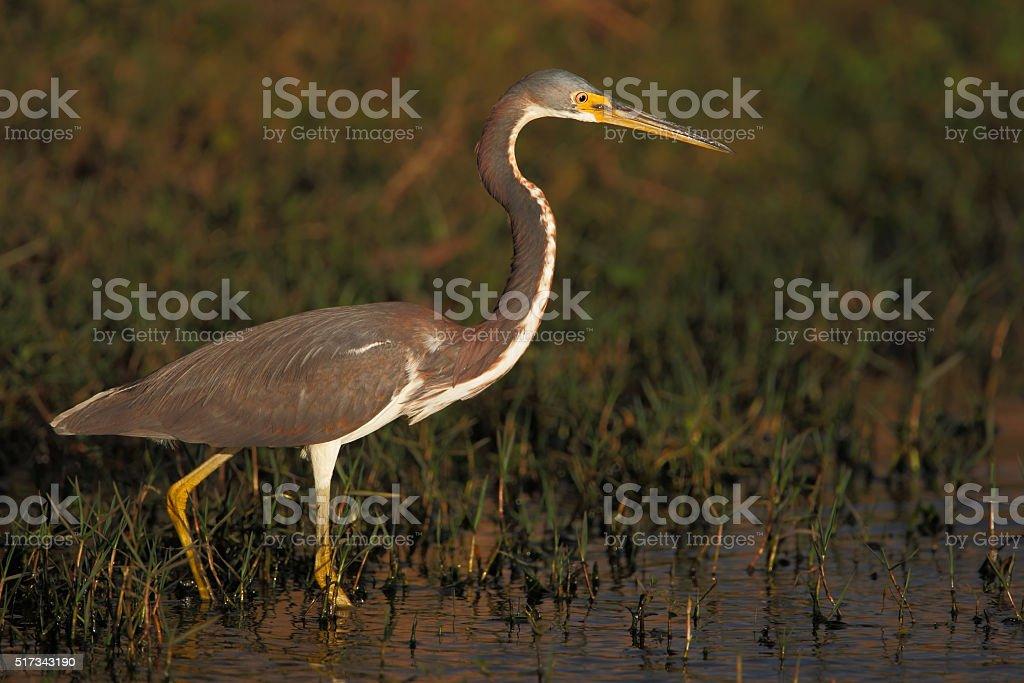 Tricolored Heron (Egretta tricolor) walking in marsh, Florida, USA stock photo