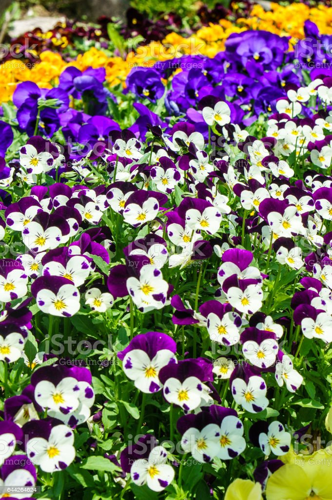 Tricolored violet flowers stock photo