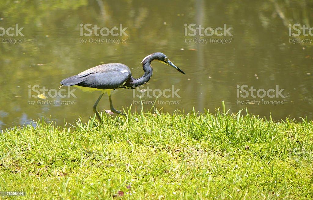 Tricoloured heron Latin name Egretta tricolor stock photo