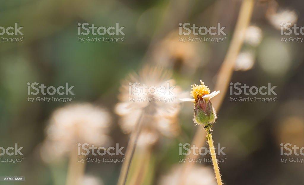 Tridax procumbens L flower stock photo