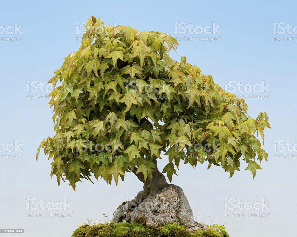 Trident Maple bonsai tree stock photo