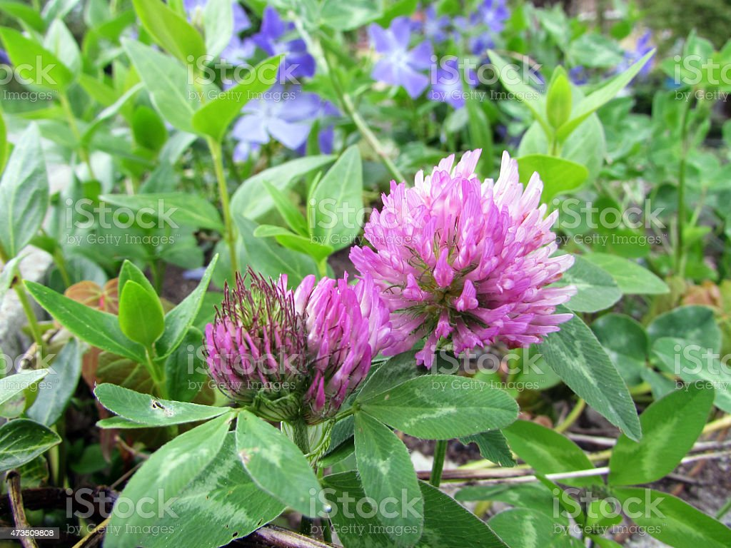 Trifolium pratense or red clover stock photo