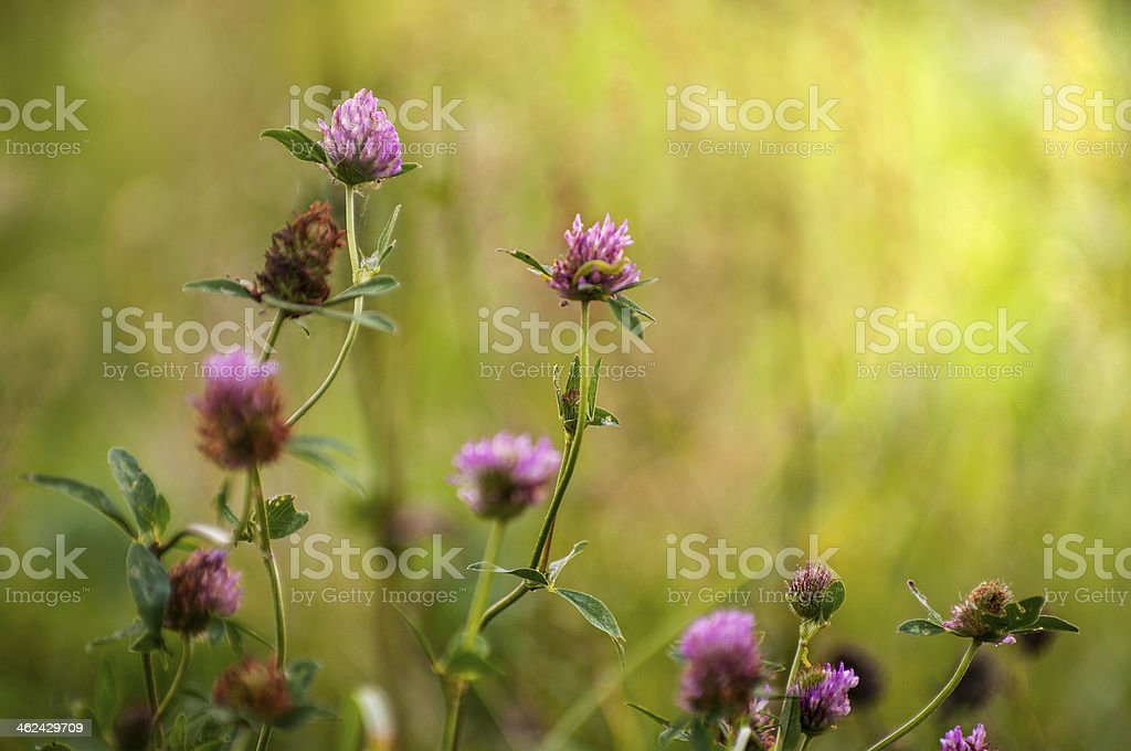 Trifolium pratense - Red clover in different flowering stages stock photo