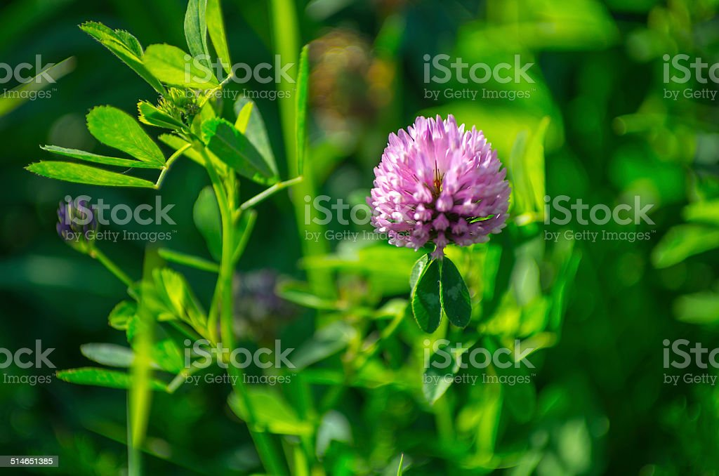 Trifolium pratense - Red clover in late summer sun stock photo