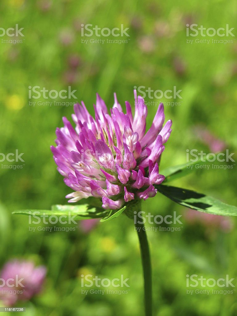 Trifolium pratense - Red clover stock photo