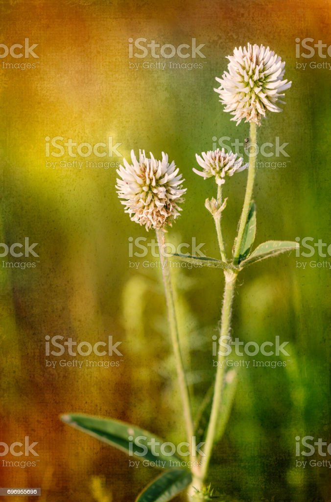 Trifolium repens or white clover stock photo