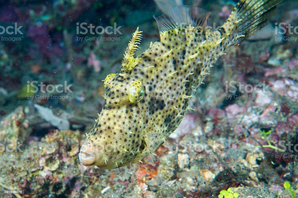 trigger fish underwater close up portrait stock photo