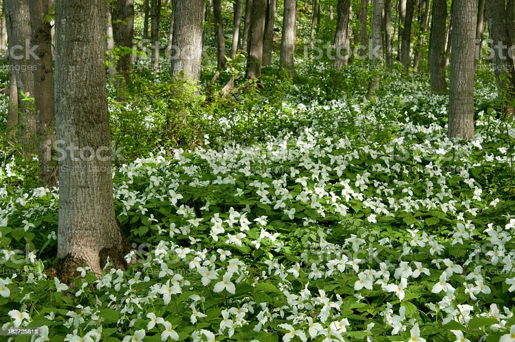 Trillium Forest in Northern Michigan royalty-free stock photo