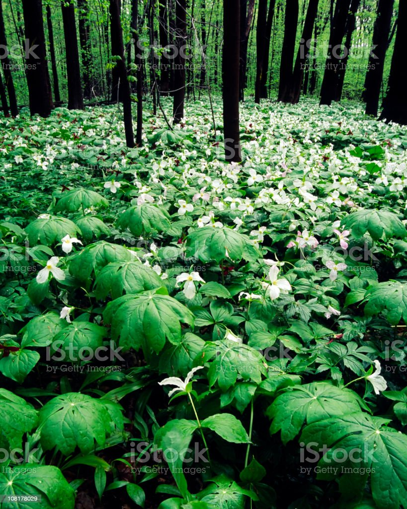 Trillium on Forest Floor royalty-free stock photo