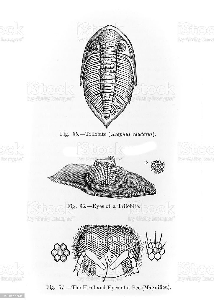 Trilobite and Bee Eye stock photo
