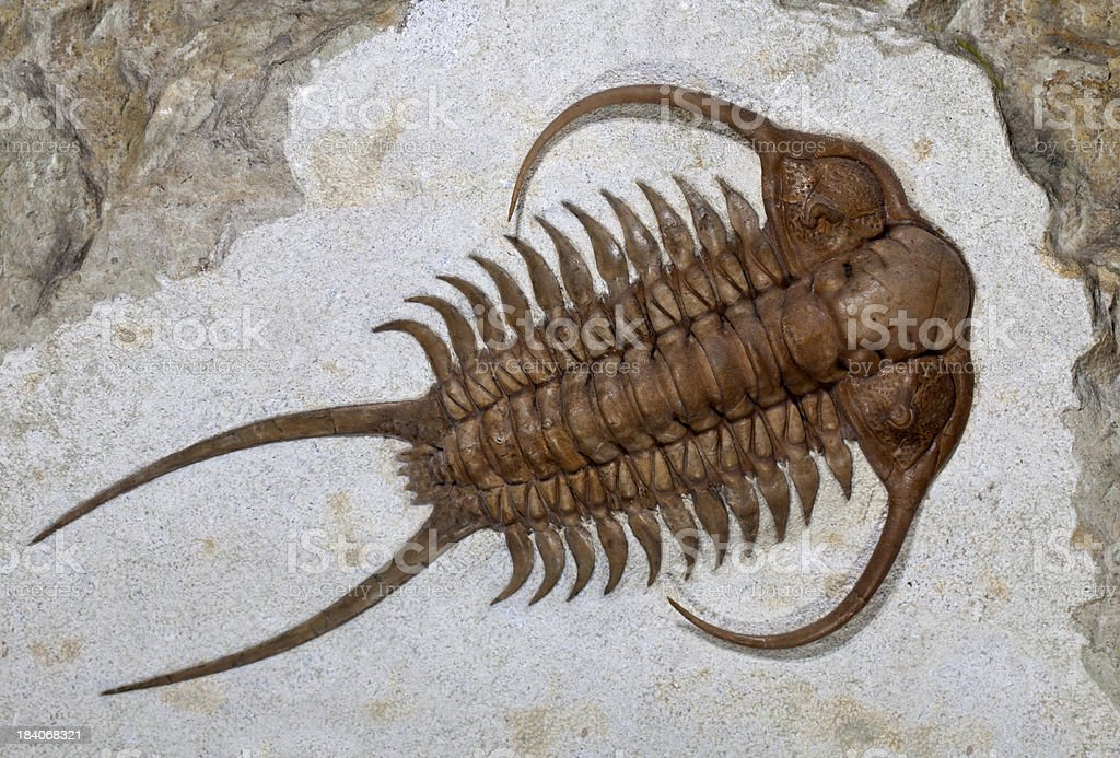 Trilobite fossil (Cheirurus ingricus) royalty-free stock photo