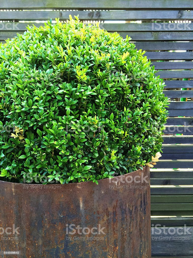 Trimmed myrtle tree in a rusty iron pot stock photo