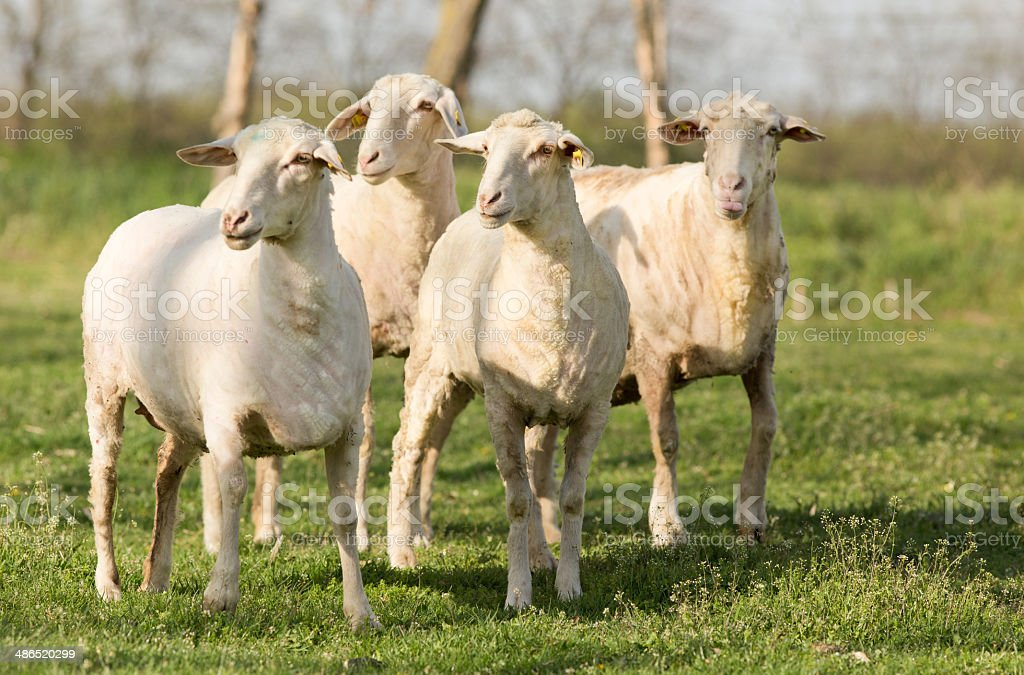 Trimmed sheep stock photo