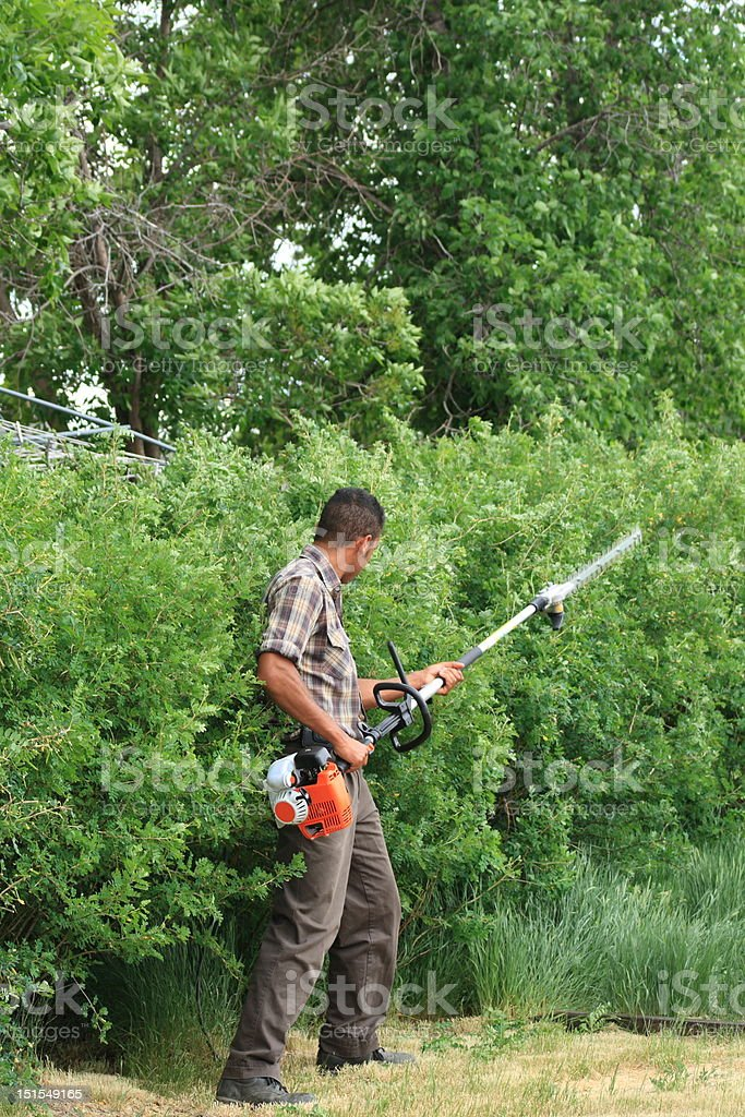 Trimming a Caragana Hedge stock photo