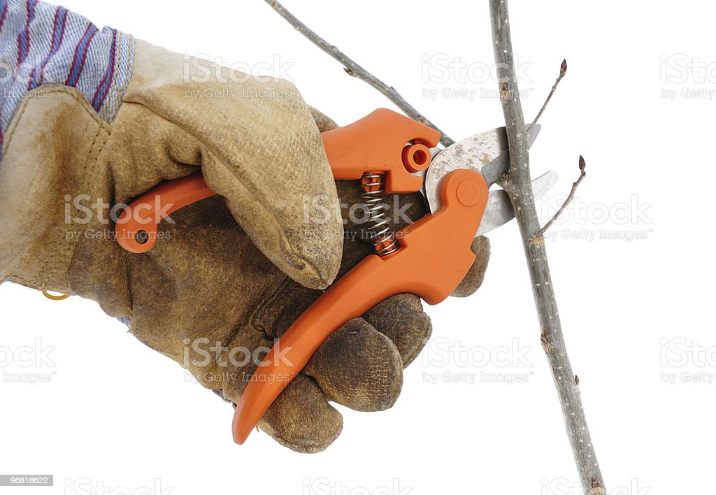 Trimming a Tree Branch with Pruning Shears royalty-free stock photo