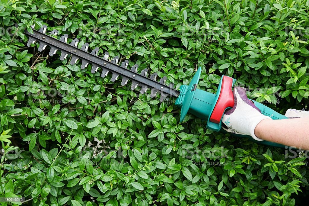 Trimming garden hedge stock photo