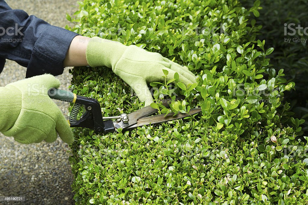 Horizontal photo of hands, wearing gloves, trimming hedges with...
