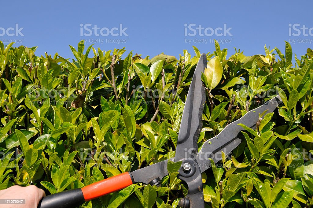 Trimming the hedge stock photo