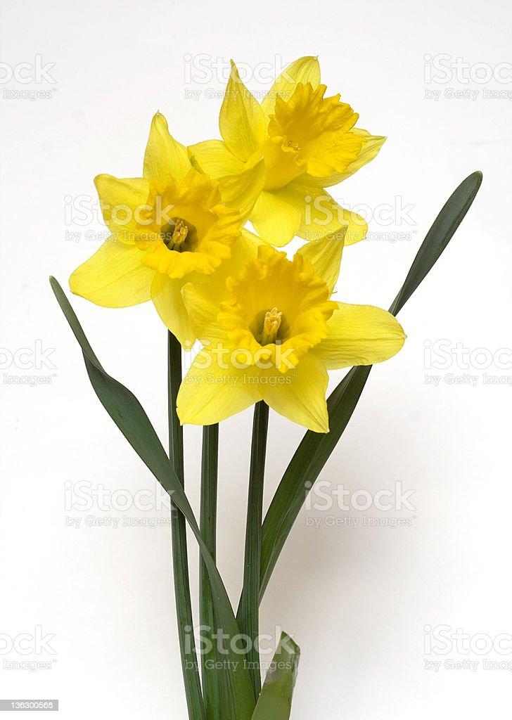 Trinity of Daffodils royalty-free stock photo