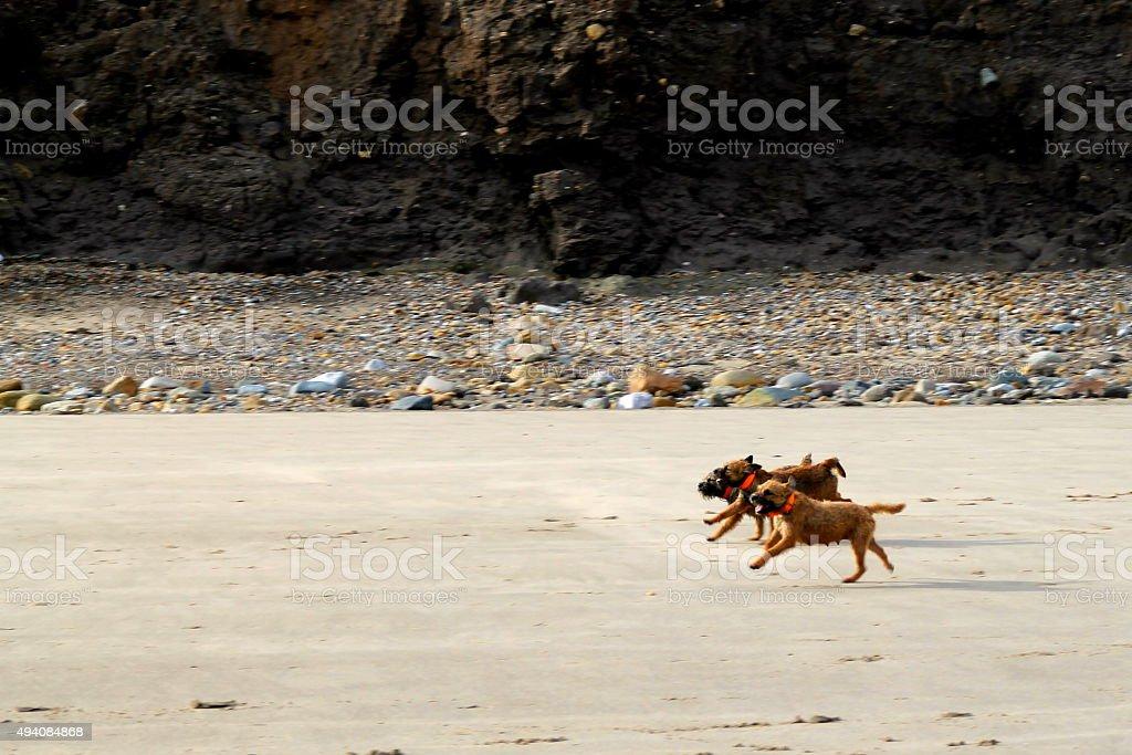 Trio of Border Terrier females running on the beach stock photo