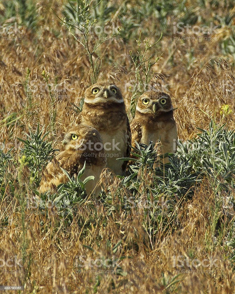 Trio of Burrowing Owls royalty-free stock photo