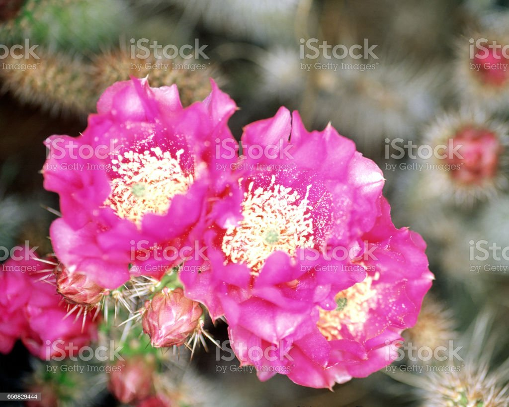 A trio of cactus flowers stock photo