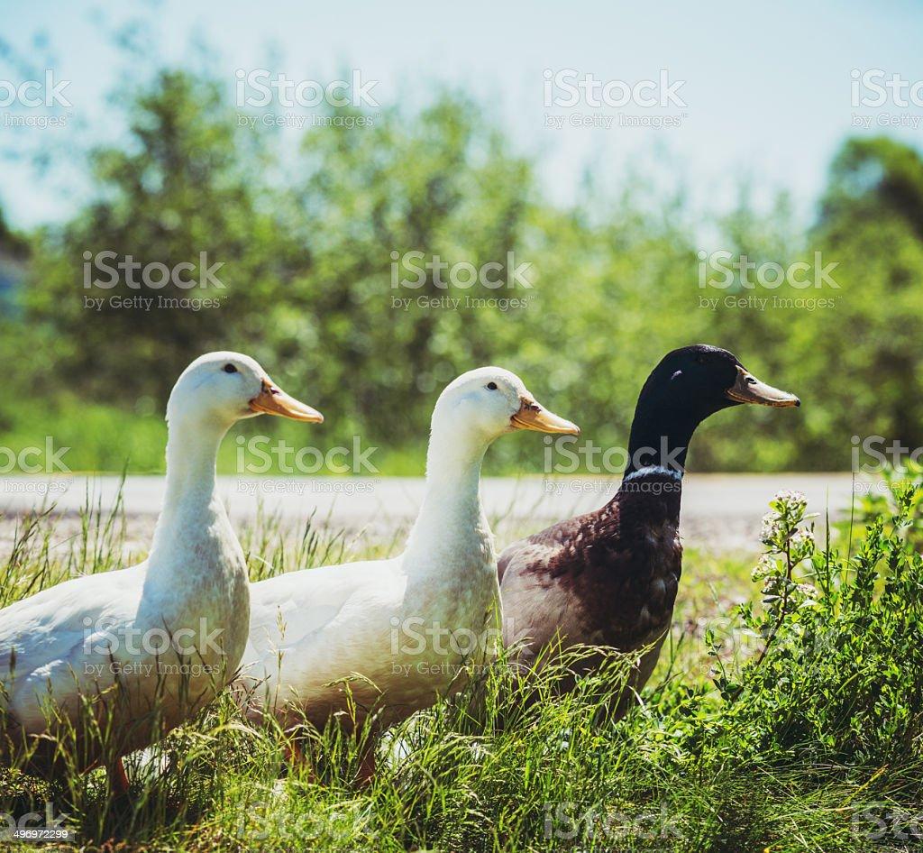Trio of Ducks stock photo