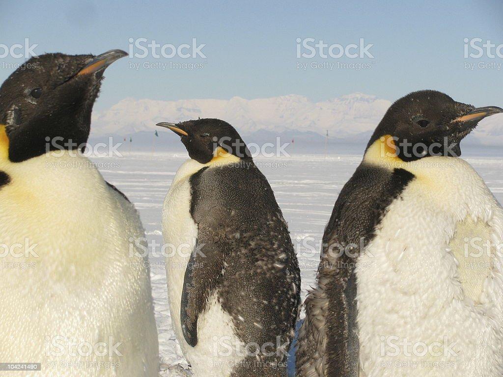Trio of Emperor Penguins in Antarctica royalty-free stock photo