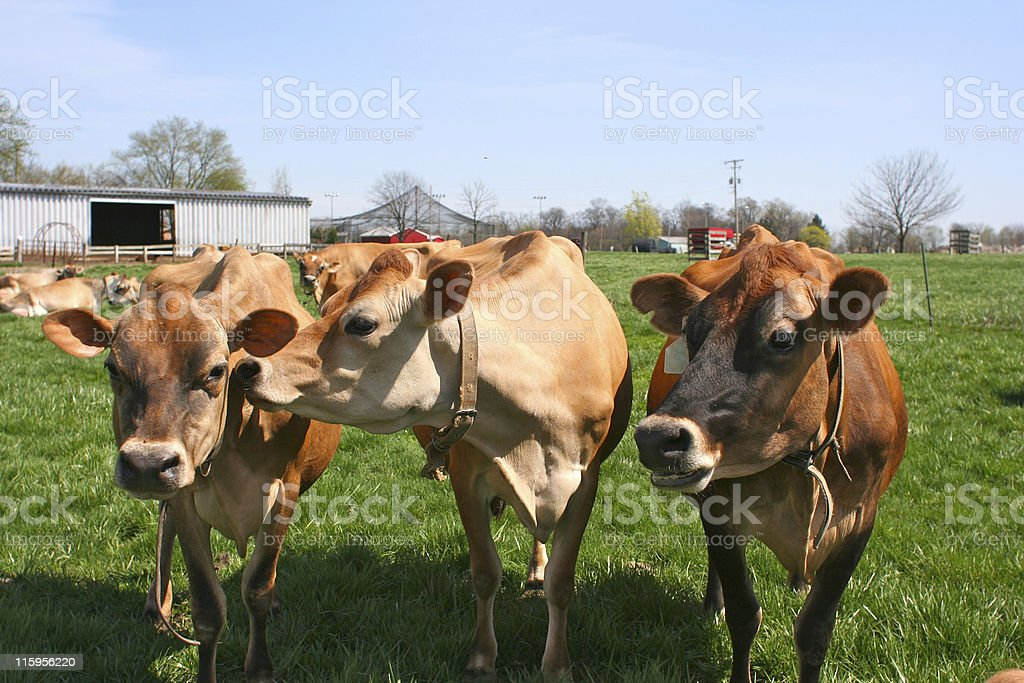 Trio of jersey cows stock photo