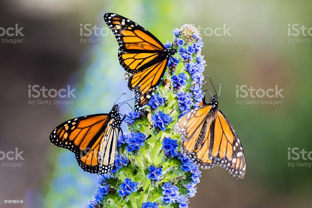 Trio of Monarch Butterflies stock photo
