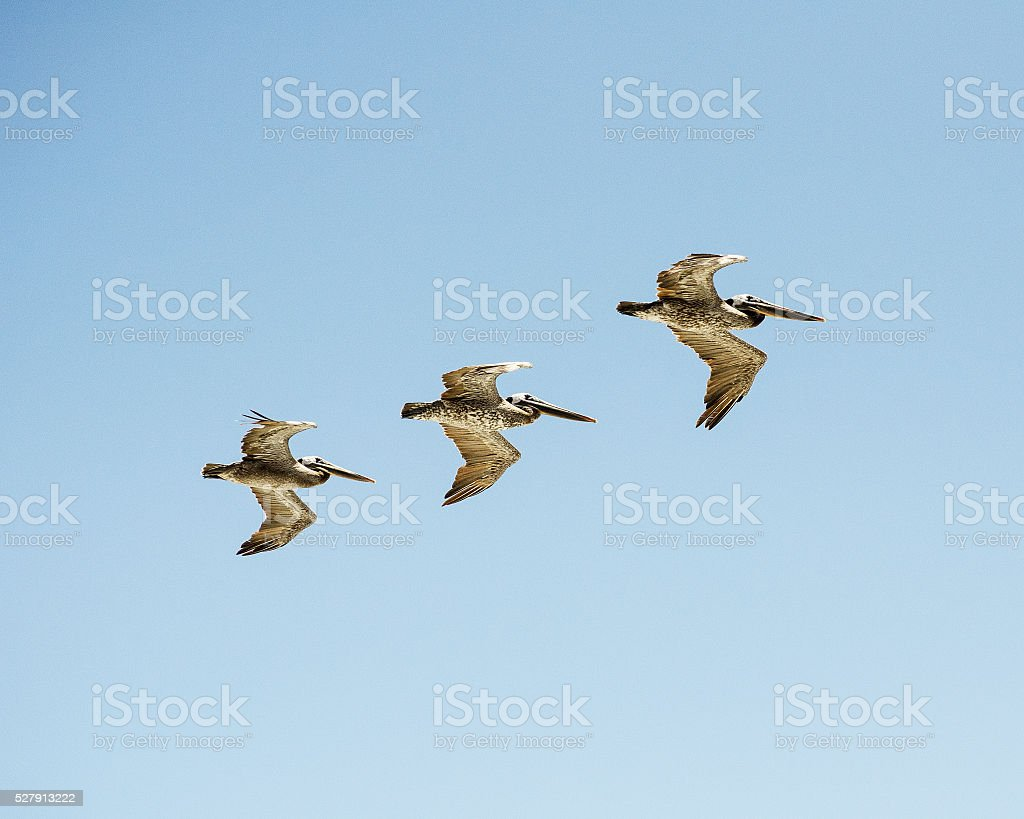 Trio of Pelicans stock photo