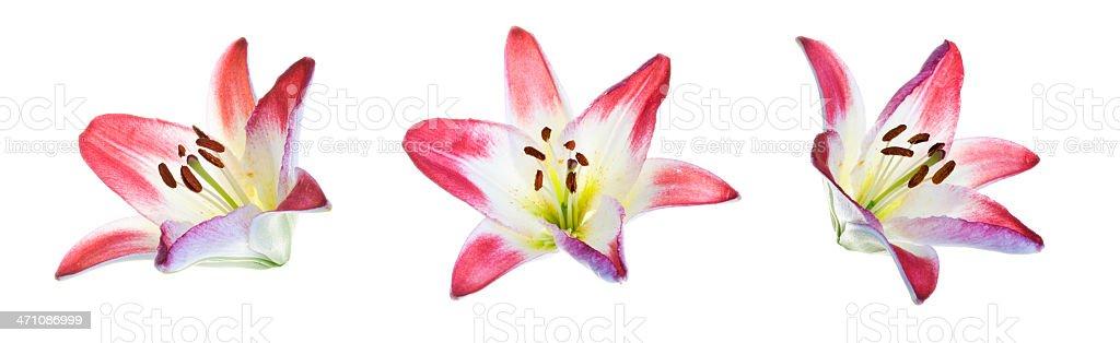 Trio of Pink Lily  (XXL) stock photo