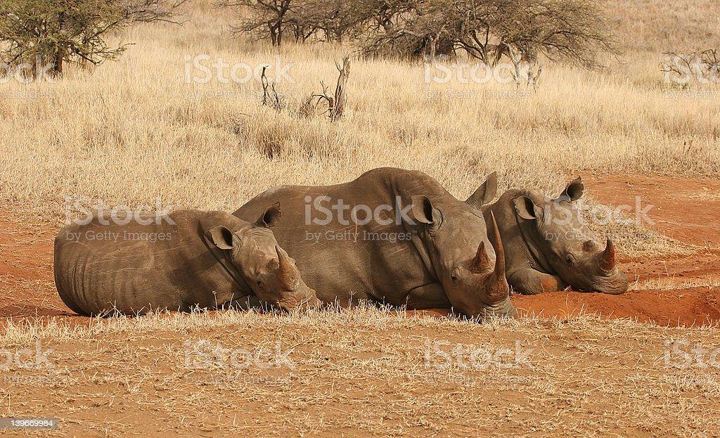 Trio of Rhino stock photo
