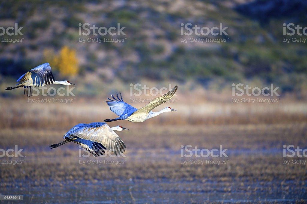 trio of sandhill cranes in flight. stock photo
