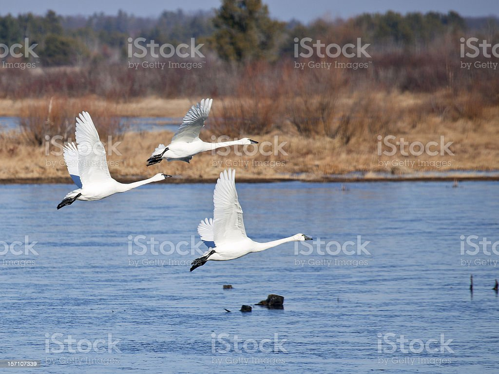 Trio of Tundra Swans stock photo
