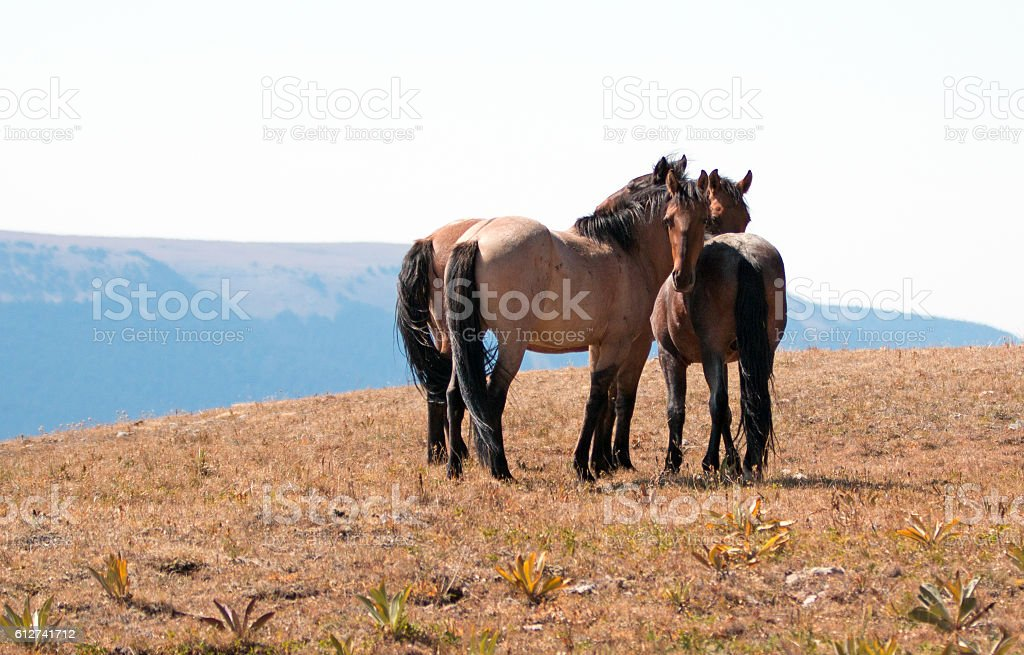 Trio of Wild Horses on Sykes Ridge in Pryor Mountains stock photo