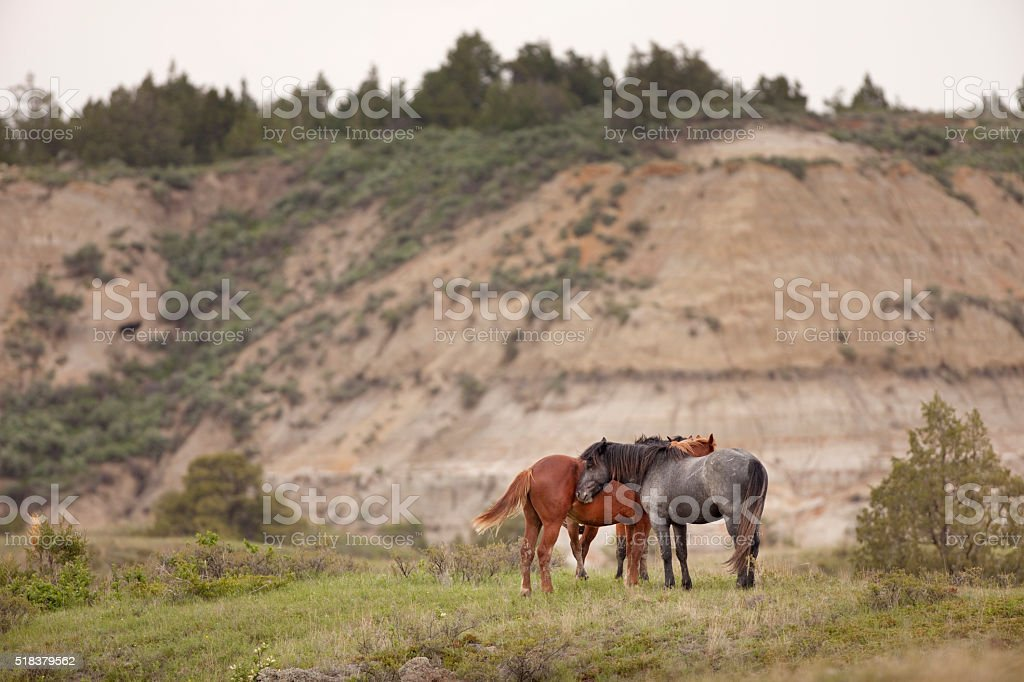Trio of wild horses Theodore Roosevelt National Park North Dakota stock photo
