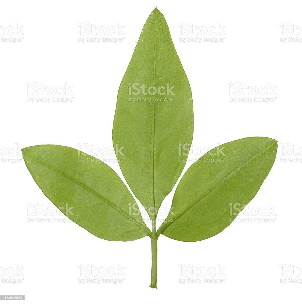Tripartite leaf stock photo