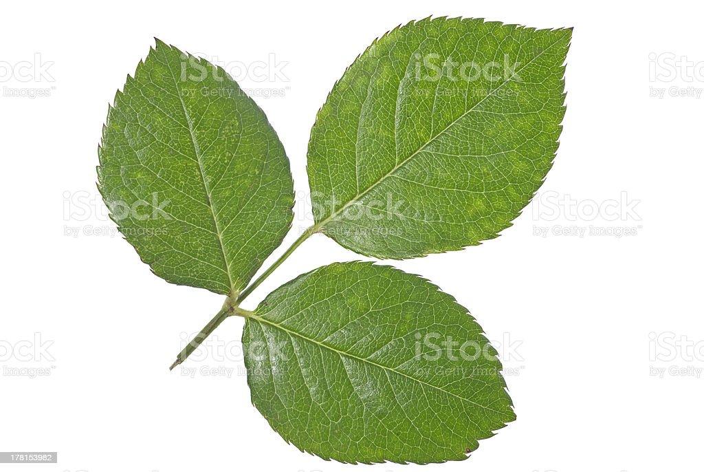 Tripetal rose leaf stock photo