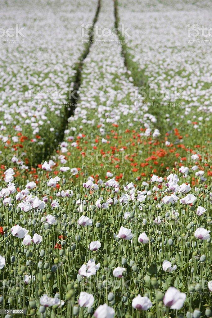 Triple color poppy flower field royalty-free stock photo