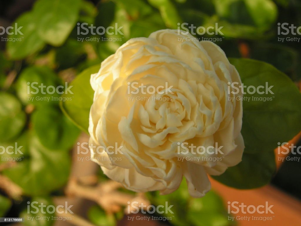 Triple Motia flower stock photo