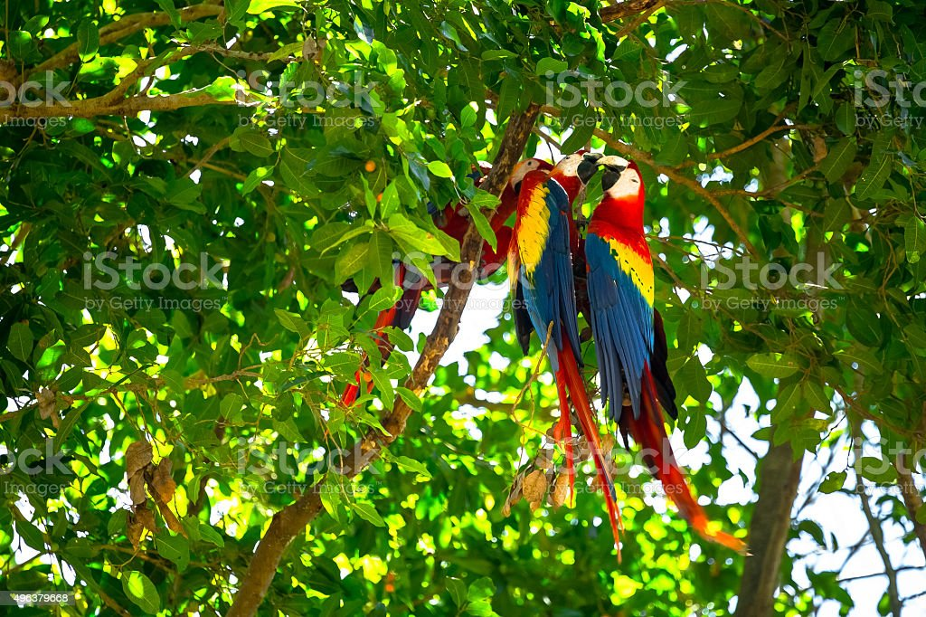 Triple of Macaws stock photo