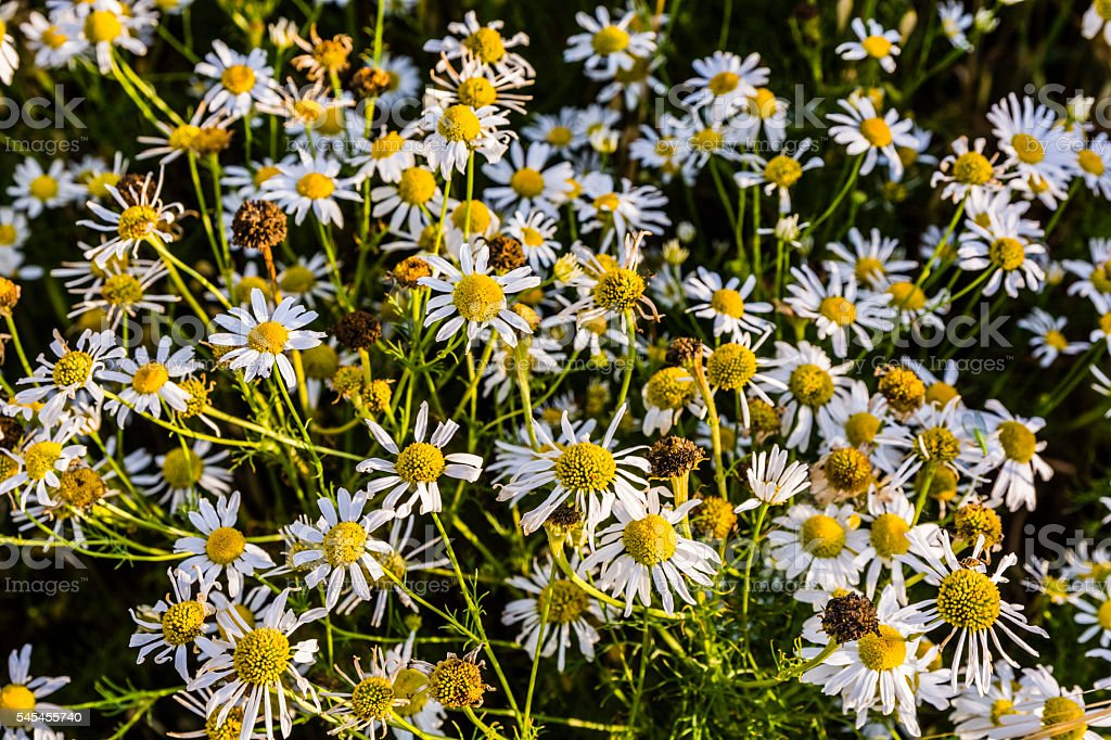 Tripleurospermum indorum, scentless false mayweed, scentless mayweed, scentless chamomile. stock photo